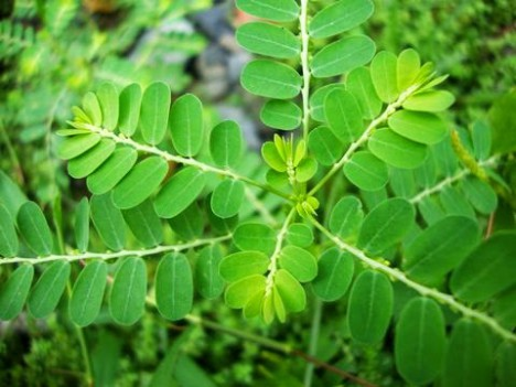 Meniran (Phylanthus Urinaria)