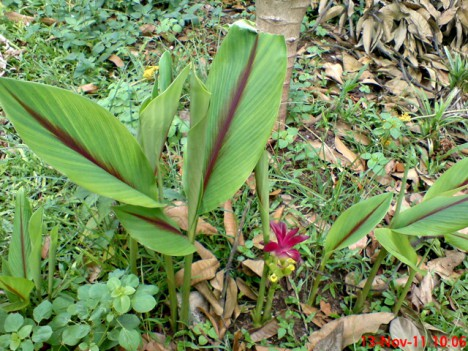 temu hitam (Curcuma Aeruginosa)