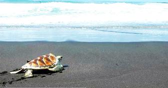 penyu di pesisir pantai